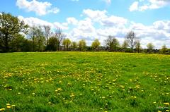 Wezep landscape (JaapCom) Tags: flowers flower holland fleurs natural lente landschaft landed paardebloemen jaargetijden wezep soppe jaapcom