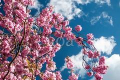 H501_0476 (bandashing) Tags: pink flowers blue england sky tree manchester spring blossom cherryblossom sylhet bangladesh springtime socialdocumentary aoa bandashing akhtarowaisahmed