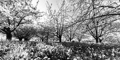 Kirschblte, Freinsheim (Knipsbildchenknipser) Tags: bw monochrome germany deutschland blackwhite spring balckandwhite sw 12mm schwarzweiss ultrawide voigtlnder pfalz frhling ultrawideheliar freinsheim