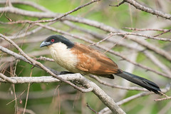A Senegal Coucal (Centropus senegalensis) perched on a perch (Dave Montreuil) Tags: africa wild tree bird nature animal standing adult wildlife profile westafrica gambia perched senegal perching coucal senegalese senegalensis centropus