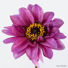 Dahlia (Ken Mickel) Tags: dahlia flowers flower nature flora flowercloseup natureupclose flowerlover dahlinovadahlia