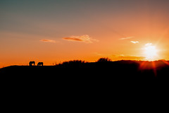 Horses on the Hill, Setting Sun, Swansea (Geraint Rowland Photography) Tags: uk pink blue sunset horses orange nature swansea southwales wales canon 50mm exposure pastels gower welsh gowerpeninsula thegreatoutdoors settingsun slihouettes welshcountryside 5d2 travelphotographywales