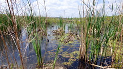 (mahler9) Tags: jaym concord massachusetts greatmeadows wildliferefuge wetland reeds water nature clouds