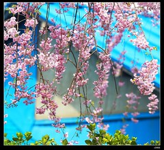 nEO_IMG_DP1U5026 (c0466art) Tags: trip travel flowers trees light red white color beautiful japan canon spectacular landscape town amazing scenery view many small bloom april sakura 2015 1dx c0466art