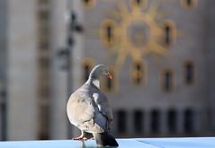 Kunstberg Brussel - Mont des Arts Bruxelles (Kristel Van Loock) Tags: brussels bird belgium belgique pigeon dove belgi bruxelles bruselas brssel brussel belgica vogel belgien belgio duif montdesarts kunstberg capitalcity bruxellescapitale visitbrussels