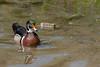 Female Wood Duck at High Park (Dan Armishaw) Tags: wood duck highpark woodduck