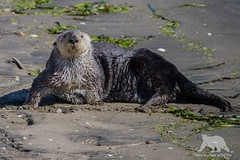 Sea Otter (fascinationwildlife) Tags: ocean california sea wild usa cute beach nature animal america mammal bay coast monterey moss harbour wildlife natur landing otter curious northern seeotter