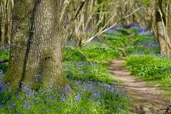 20160505-_DSF2943.jpg (ClifB) Tags: flower spring may dorset bluebell 2016 rspb garstonwood rspbreserve