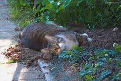 Just digging... (Finn Frode (DK)) Tags: pet cats animal cat garden denmark spring strawberry bath outdoor earth olympus dust dig mixedbreed bastian dustbath domesticshorthair omdem5