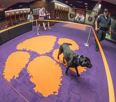 Doc in locker room paw (clemsonnews) Tags: bombsniffingdog servicedog clemsonuniversity policedog dog police policeofficer campuspolice deathvalley memorialstadium southcarolina kenscar