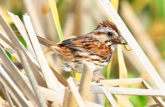 song sparrow at Cardinal Marsh IA 854A7652 (lreis_naturalist) Tags: county cardinal song reis iowa larry sparrow marsh winneshiek