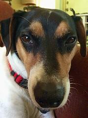Selfie (ktboy26) Tags: dogs terrier jackrussell cutepets