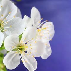 Apple tree flowers (Henri Koskinen) Tags: tree apple helsinki kasvi kukka omenapuu 10052016