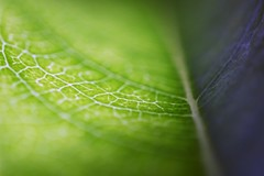 Macro Mondays: Just Leaves & 137/366 - Two Sides To Every Story (Fiona Dawkins) Tags: lightanddark justleaves macromondays day137366 366the2016edition 3662016 16may16
