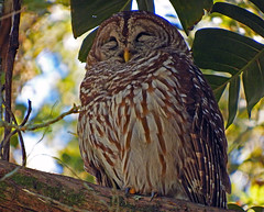 Barred Owl Leu Gardens Florida (Nick.Bayes) Tags: gardens florida owl barred leu