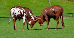 Cattle (euanwhite) Tags: toronto zoo cattle horns locked grazing fileld