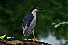 DSC_0007 Night Heron (tsuping.liu) Tags: bird nature birds animal outdoor deptoffield naturesfinest darkbackground natureselegantshots