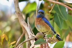 Western bluebird (scv1_2001) Tags: bird animal nikon wildlife westernbluebird losangelescountyarboretumbotanicgarden nikon70200mmvrii nikond750