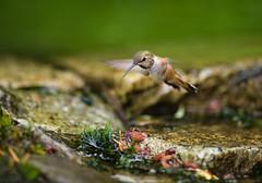 Female Rufous hawking bugs, she did come down for a quick drink. (Martin Dollenkamp) Tags: vancouverisland hummingbird rufous rufoushummingbird water bath selasphorusrufus