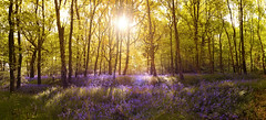 A Magical Place (Glenn 07) Tags: blue trees sunset green beautiful beauty yellow bluebells woodland landscape woods purple glenn wallart foster statement flare colourful magical largeformat lowsun sunflare canon5diii glennfoster glennfosterphotography