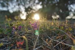 The Secret Garden (animaldelmar) Tags: sunset flowers grass eternity serenity mood italy garden gold golden light outdoor trees beauty nature holiday