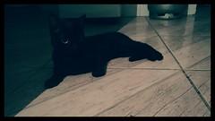2016-05-25_10-25-59 (nepenthes) Tags: pet black cute animal animals female cat feline gatos gato felines animais elvira
