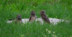 Burrowing Owl family (YoungSue) Tags: bird owl burrowingowl