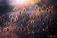 Cardos (Mimadeo) Tags: sunset plant flower nature backlight botanical thistle health translucent medicine backlit pollen transparent thistles mosquitoes homeopathy