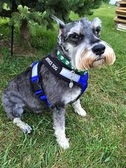 Service Dog Pep (Pep's Hiking Team) Tags: dog schnauzer servicedog myhero 2016
