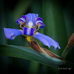 Walking Iris (idunbarreid) Tags: iris purple tiny doublefantasy