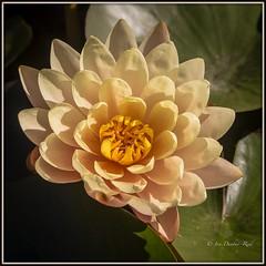 Elegant Water Lily (idunbarreid) Tags: waterlily cream coloured doublefantasy