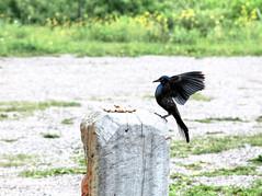 Smooth Landing (Cindy's Here) Tags: ontario canada canon bokeh smooth peanuts pearl blackbird 42 116 smoothlanding brewerblackbird billsoldamethystmine