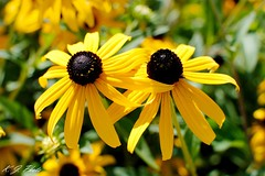 Rudbeckia: Black Eyed Susans (K.J. Photos) Tags: flowers black yellow garden gold coneflowers eyed rudbeckia susans