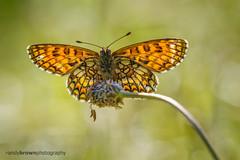 Heath Fritillary (ABPhotosUK) Tags: macro animals canon wildlife butterflies lepidoptera devon nocrop backlighting invertebrates nymphalidae heathfritillary melitaeaathalia eos7dmarkii butterflyconservationreserves lydfordoldrailway