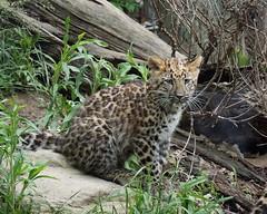 DSC07061 (Ed McKaveney) Tags: zoo cub pittsburgh leopard