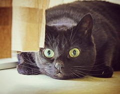 Evie in attack mode (Yvo Kaptein) Tags: black cute cat eyes attacking