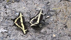 New Video - Giant Swallowtails (Papilio cresphontes) thermoregulation V8281 Skunk's Misery, ON (www.PhotographsFromNature.com) Tags: behavior giantswallowtail papiliocresphontes