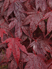 Acer leaves after the rain (tony marfell) Tags: leaves japanesemaple acer raindrops