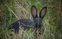 Roma, parco della Caffarella, 22 giugno 2016 (adrianaaprati) Tags: park italy parco roma rabbit grass erba hiding coniglio nascosto appiaantica caffarella filoderba abladeofgrass