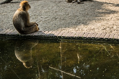 Ouwehands Zoo (Mysecrethistory) Tags: animals canon reflections zoo monkey monkeys animalkingdom rhenen ouwehands zoolife ouwehandsdierenpark monkeybusiness ouwehand canonphotography ouwehandszoo