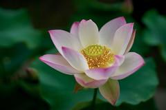 Deep into the silence (ai3310X) Tags: none super takumar 50mmf14  lotus