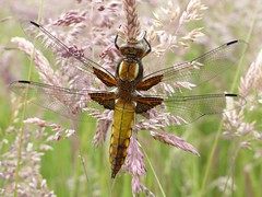 Broad-Bodied Chaser (Immature Male) (ukstormchaser (A.k.a The Bug Whisperer)) Tags: uk morning male animals june dragonflies dragonfly wildlife milton keynes immature chaser odanata chasers broadbodied
