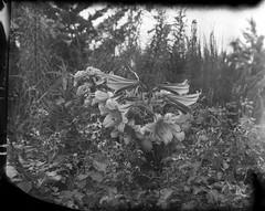 Brooklyn Botanic Garden (triebensee) Tags: blackandwhite film brooklyn polaroid iii f45 4x5 linhof largeformat schneider kreuznach xenar 150mm technika epsonv700 brooklynian new55pn