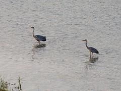 Grey herons () (Greg Peterson in Japan) Tags: birds japan wildlife rivers shiga jpn deba ritto shigaprefecture egretsandherons yasugawa rittocity