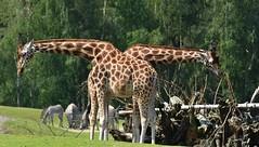 Seesaw Giraffes, Swinging? (Froskeland) Tags: giraffe d7200 nikkor200400mmf4vrii