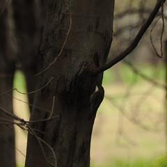 Cormobates leucophaea (Diana Padrn) Tags: bird birds ave aves naturaleza outdoors nature mangalore flora reserve victoria australia whitethroated treecreeper cormobates leucophaea