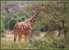 Reticulated Giraffe 6549 (maguire33@verizon.net) Tags: africa kenya wildlife ke giraffe eastern samburu oxpecker reticulatedgiraffe