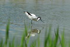 Avocet - Recurvirostra avosetta (Hatto26) Tags: wild white black bird nature water mono beak fowl curved minsmere avocet rspb recurvirostra avosetta