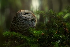 In the forest. (Blingsister) Tags: canon rainforest raptor owl pnw barredowl wildraptor wildowl southernvancouverisland canon7dmarkii blingsister canonef100400mmf4556lisiiusm14xiii melanieleesonwildlifephotography