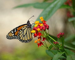 Welcome Back Madam Butterfly (KsCattails) Tags: butterfly d3100 kansas kscattails milkweed monarch nikon overlandparkarboretum summer opagc